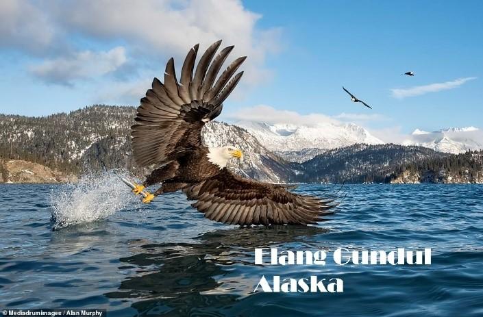 Elang Gundul Alaska