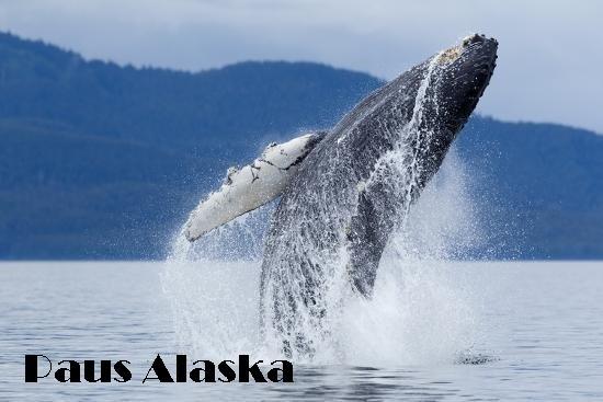 Paus Alaska