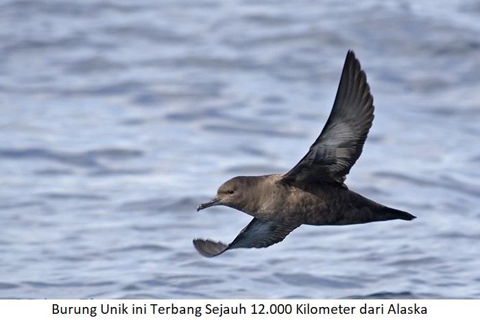 Burung Unik Terbang 12 KM